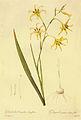 Gladiolus undulates in Les liliacees.jpg
