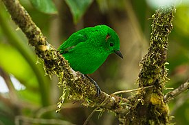 Glistening-green Tanager - Colombia S4E4590 (22954505840).jpg