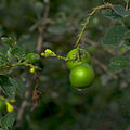 Gmelina asiatica - Asian Bushbeech 01.jpg