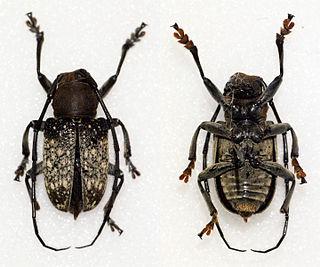 <i>Gnathoenia venerea</i> Species of beetle