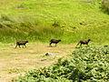 Goats on Lundy (2).jpg