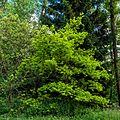 Goldeiche Queen-Auguste-Victoria-Park (Umkirch) jm30437.jpg