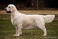 Golden Retriever Hund.jpg
