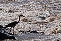 Goliath Heron (6932049109).jpg