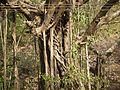Golimara (Kannada- ಗೋಳಿಮರ) (6777397782).jpg