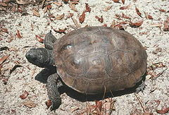 Tortuga gòfer (Gopherus polyphemus), Florida