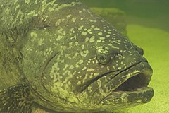Gordon - Goliath grouper.jpg