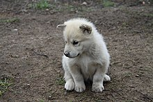 Image Result For Cute Baby Huskies