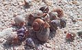 Grabs of crabs at Andaman & Nicobar Islands.jpg