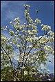 Grafton White Jacaranda-02 (22642051666).jpg