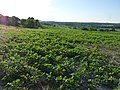 Grant Clark County Wisc soybeans.jpg