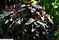 Graptophyllum pictum Tricolor 1zz.jpg
