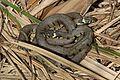 Grass snakes (Natrix natrix) mating coil.jpg