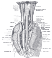 Diagram of thorax showing the esophagus and surrounding structures.