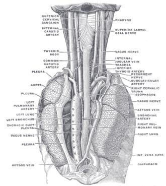 Superior laryngeal nerve - Image: Gray 1032