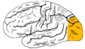 Gray726 occipital lobe.png