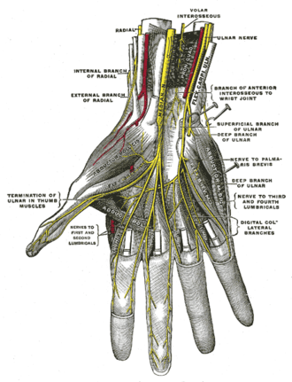 Anterior interosseous nerve - Deep palmar nerves. (Volar interosseous labeled at center top.)