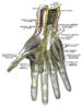 Deep palmar nerves.