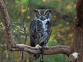 Great-horned Owl RWD at CRC2.jpg