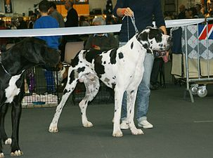 Great Dane harlequin.JPG