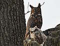 Great Horned Owl (32959840980).jpg