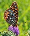 Great Spangled Fritillary (Speyeria cybele) (9540366061).jpg