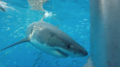 Great white shark at Isla Guadalupe, Mexico, 2017. Shark cage diving MV Horizon. Animal estimated at 16-18 feet in length, age unknown.png