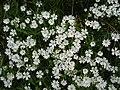 Greater Stitchwort - Stellaria holostea - geograph.org.uk - 1269505.jpg