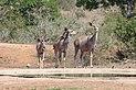 Greater kudus in Kruger National Park 01.jpg
