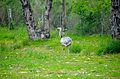 Greater rheas (Rhea americana) 3.jpg