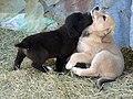 Greek Puppies (909213290).jpg