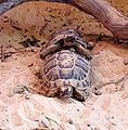 Greek Tortoises Revivim 2.jpg