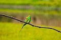 Green Bee eater (16692374411).jpg