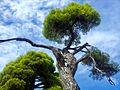 Green pines.jpg