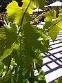 Grenache noir leaves.jpg