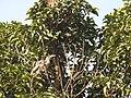 Grey Hornbill ( Ocyceros birostris).jpg