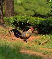 Grey jungle fowl.jpg