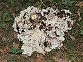 Grifola frondosa 2014 G2.jpg