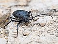 Ground Beetle (19637950541).jpg