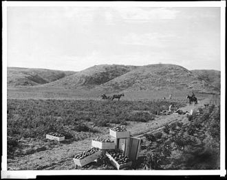 Rancho Rodeo de las Aguas - Group of people picking tomatoes, Hammel and Denker ranch, c.1903