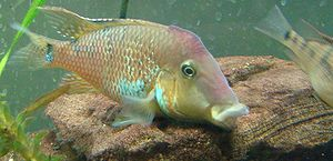 Redhump eartheater - Displaying male