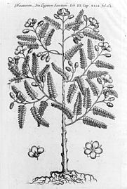 Guaiacum tree, of the West Indies. Wellcome M0004465.jpg