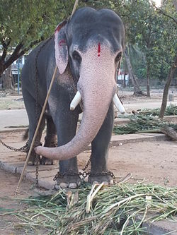 Temple Elephant in Guruvayoor
