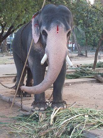 Guruvayur - Temple Elephant in Guruvayoor