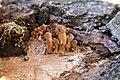 Gymnopilus luteofolius 275493.jpg