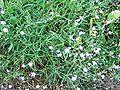 Gypsophila repens a1.jpg