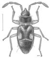 HEMI Rhyparochromidae Paratruncala insularis.png