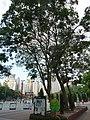 HK CWB Tin Hau Hing Fat Street morning Victoria Park trees Sept-2015.JPG