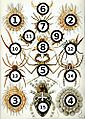Haeckel Arachnida big spots.jpg