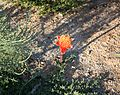 Haemanthus coccineus april fool - renosterveld Cape Town.jpg